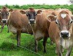 Россия отменила временные ограничения на ввоз племенного скота из Франции