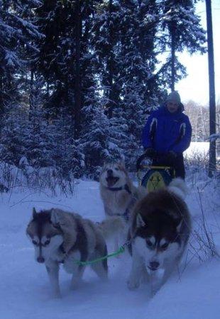 Перевозка тяжелых грузов ездовыми собаками