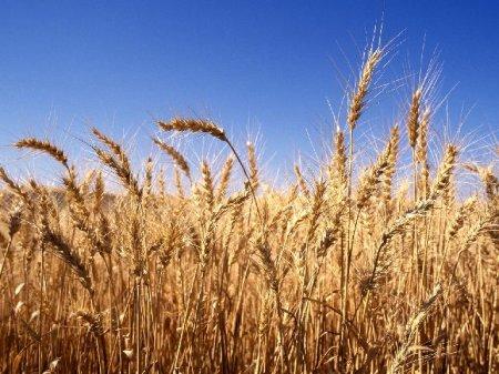 Египет ужесточает условия импорта российской и украинской пшеницы